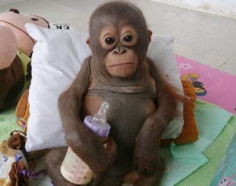 24EFA01900000578-0-Budi_the_baby_orangutan_pictured_was_kept_in_a_cage_for_the_firs-a-18_1421917541774