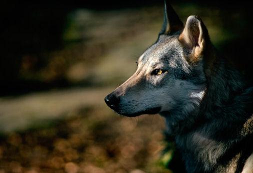 Kumi - Anneka's wolfdog