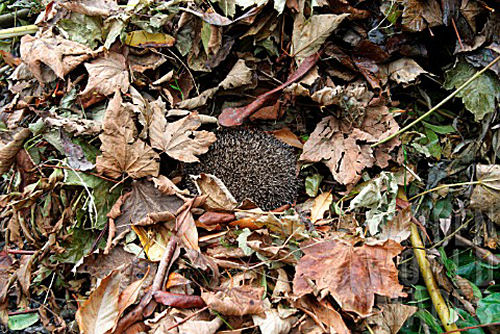 hedgehogleaves