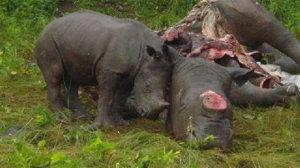 Baby Rhino mourns