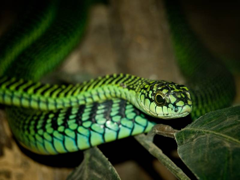 Male Boomslang Snake – Dispholidus typus