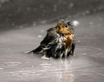 British Springbirds