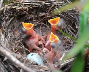 Blackbird babies