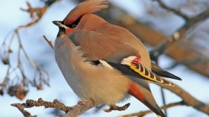 waxwing_elsom_tcm9-175369
