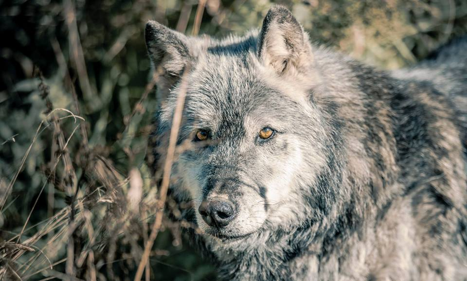 WolfWatchUK - A Haven for Misplaced & Rescued Wolves ...