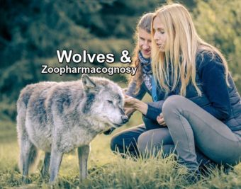 Zoopharmacognosy and Wolves