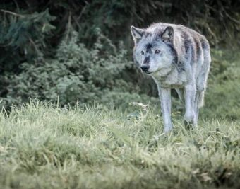 WolfWatchUK – A Haven for Misplaced & Rescued Wolves