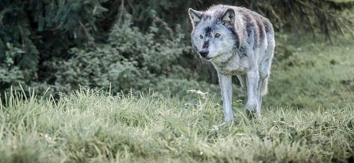 Wolf Expert Anneka Svenska visits WolfWatchUK with Dr Isla Fishburn Wolf Wolves