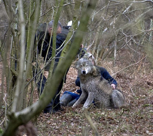 Picture by Mark Richards-Missing wolf in Berkshire.