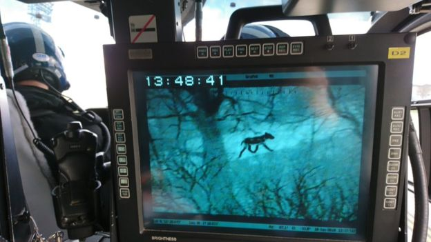 Police helicopter thermal imaging tracked Toraq down to an area 8 miles from The Wolf Conservation Trust